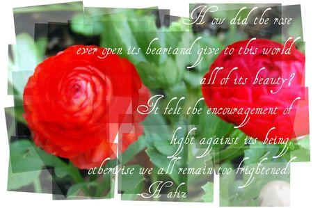 Hafiz rose