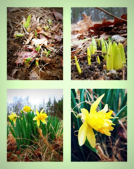 Daffodils collage